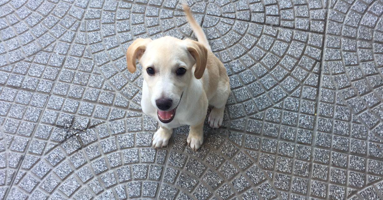 IBRA, Cucciolo 4 mesi Simil Labrador (T&J)