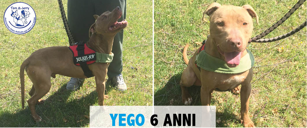 YEGO – SPLENDIDO PITBULL