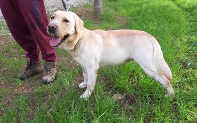 ZEUS Labrador… one molto esuberante