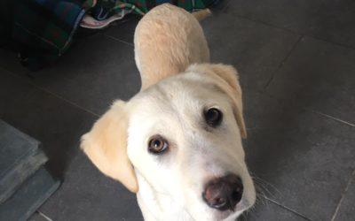TOMMY cucciolo Labrador